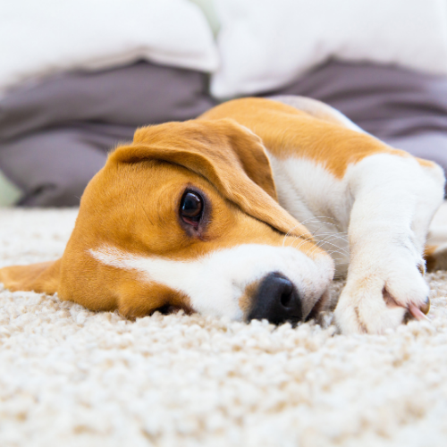 Best flooring for your home when you have pets
